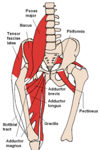 256px-Anterior_Hip_Muscles_Beth_Ohara2006