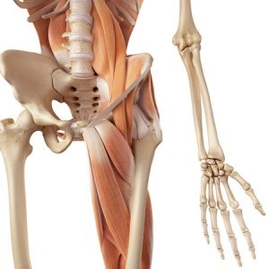 Hip Flexor Muscles and Anatomy for Personal Trainers