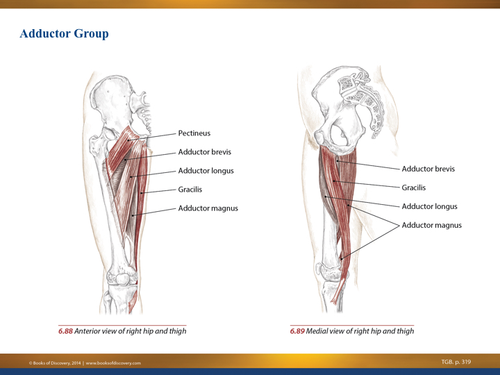 Image result for trail guide to the body adductors