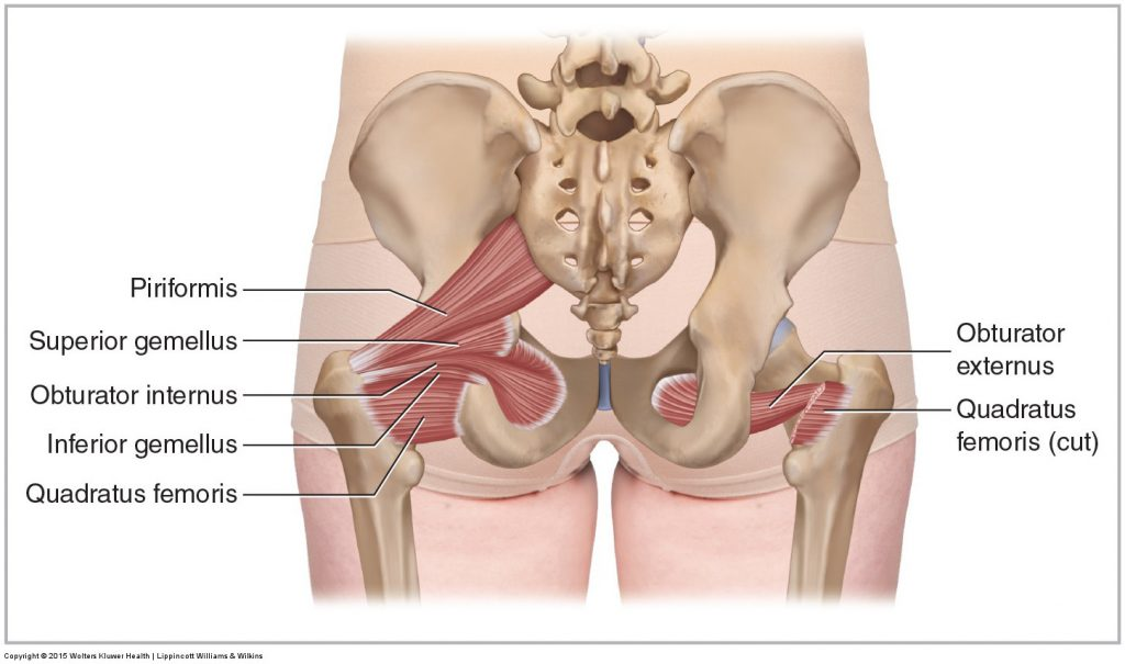 Deep Lateral Rotator Group Of The Hip Joint Posterior View 1024x605 (1)