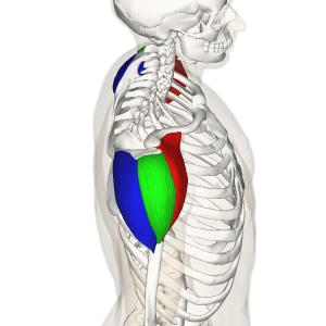 Deltoid Muscle Sideview