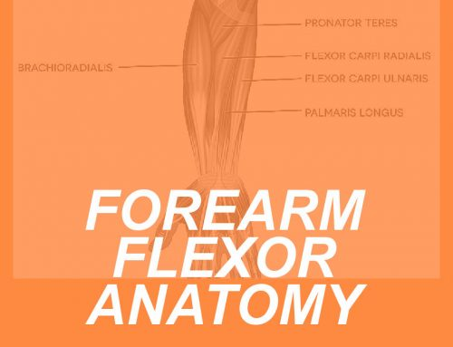 Forearm Flexor Anatomy: Locating the Flexors of the Wrist and Fingers
