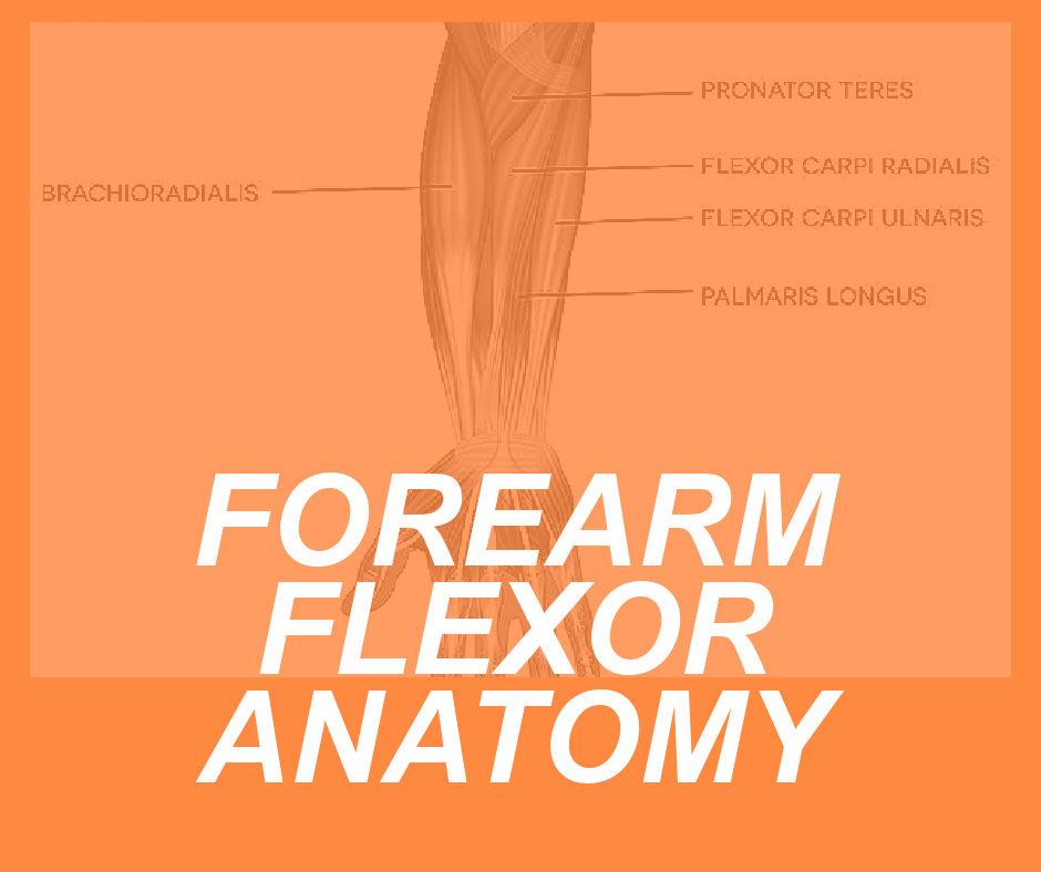 FLEXOR ANATOMY