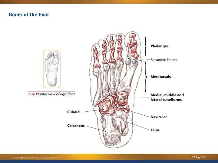 Understanding The Tibialis Posterior Muscle