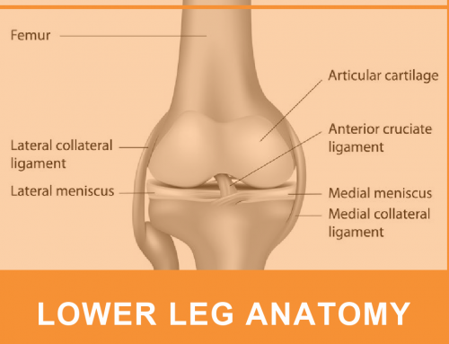 Lower Leg Joint Anatomy