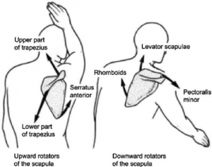 Lateral Upward Rotation Of Scapular Motion During 90 8 Anterior Flexion Of The