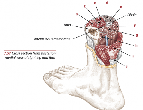 Posterior Tibialis Anatomy Function and Exercise