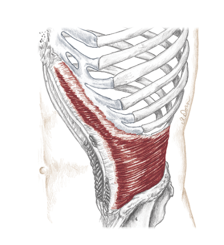 Transverse abdominus muscle