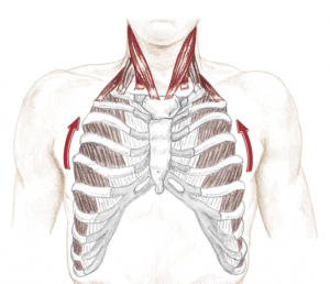 rib elevation in breathing