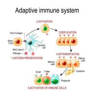 Adaptive Immune System From Antigen Presentation To Activation O