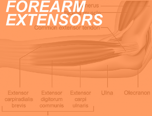 Forearm Extensor Anatomy: Locating the Extensors of the Wrist and Fingers