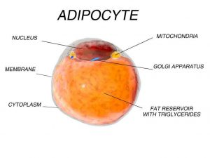 Fat cell from adipose tissue