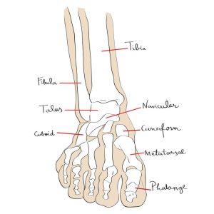 Front View Foot Bones Text